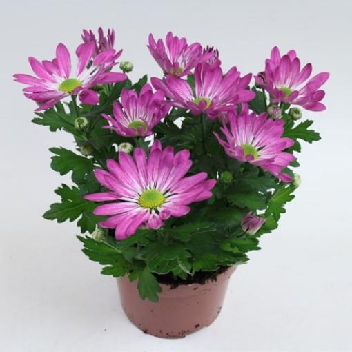 Chrysanthemum RAINBOW ROSY (Gebr Nederpel Potplanten)