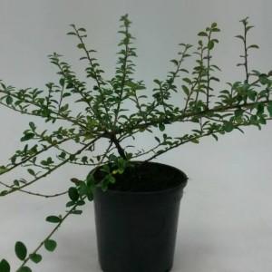 Cotoneaster x suecicus 'Coral Beauty' (WTM de Boer)
