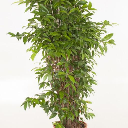 Dracaena surculosa (Ammerlaan, The Green Innovater)