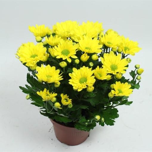 Chrysanthemum BREEZE YELLOW (Gebr Nederpel Potplanten)