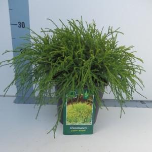 Chamaecyparis pisifera 'Sungold' (De Koekoek Potcultures)