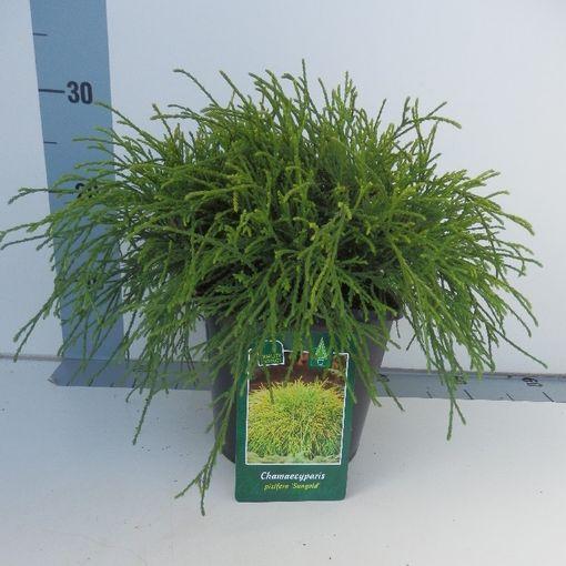 Chamaecyparis pisifera 'Sungold' (Koekoek Potcultures, de)