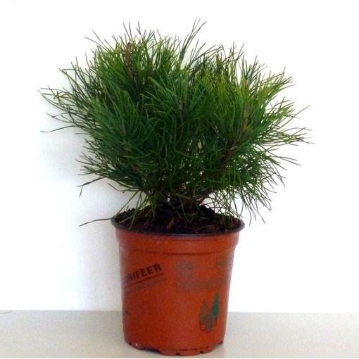 Pinus mugo pumilio (Boomkwekerij Potcultuur Gebr. Rademaker)