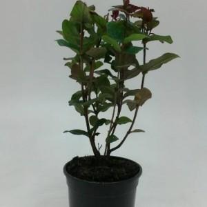 Hypericum androsaemum 'Albury Purple' (WTM de Boer)