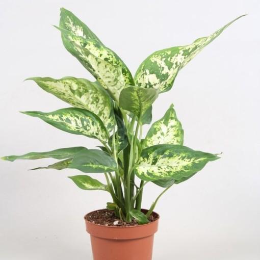 Dieffenbachia 'Compacta' (Vireõ Plant Sales)