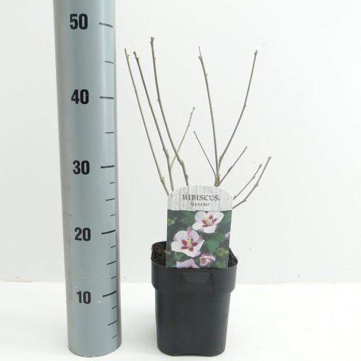 Hibiscus hamabo (Hooftman boomkwekerij)