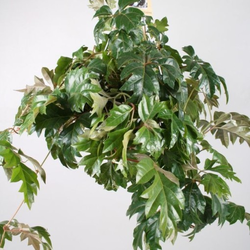 Cissus rhombifolia 'Ellen Danica' (Vireõ Plant Sales)