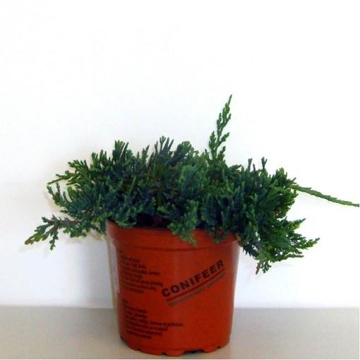 Juniperus horizontalis 'Wiltonii' (Boomkwekerij Potcultuur Gebr. Rademaker)