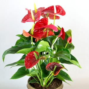 Anthurium MICHIGAN