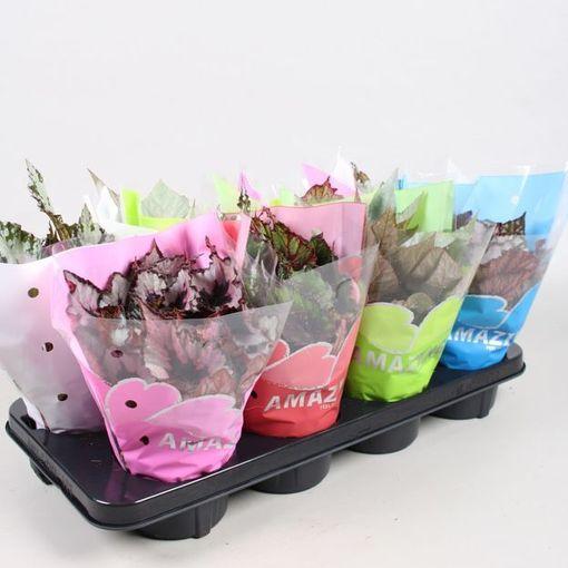Begonia REX MIX (Vireõ Plant Sales)