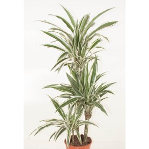 Dracaena fragrans 'White Stripe'