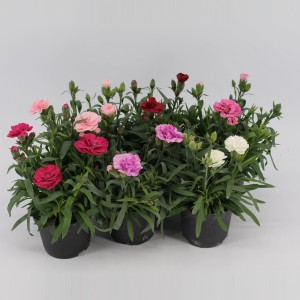 Dianthus MIX (Kwekerij Jan van der Knaap)