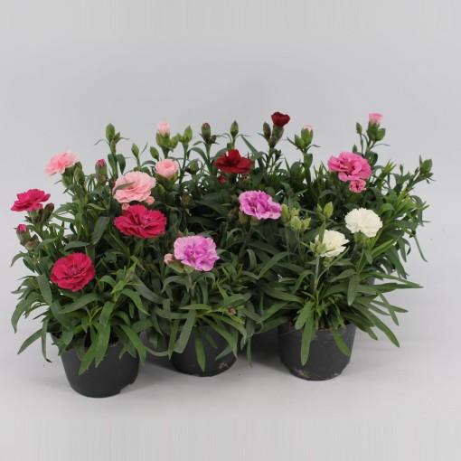 Dianthus MIX (Kwekerij Jan van der Knaap)