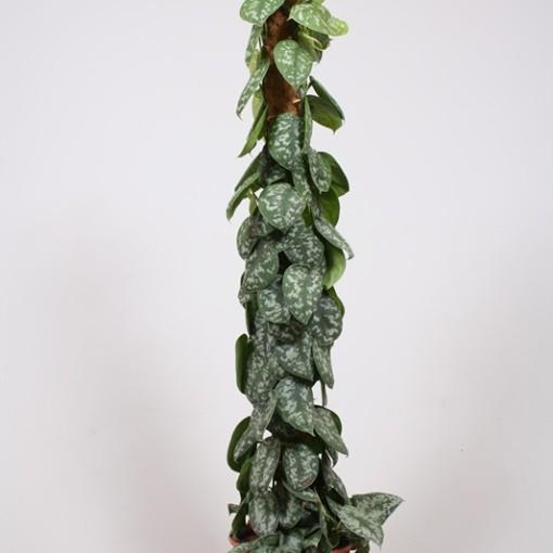 Scindapsus pictus 'Trebie' (Fachjan)