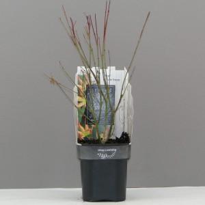 Acer palmatum 'Little Princess' (Hooftman boomkwekerij)
