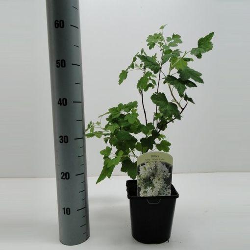 Ribes sanguineum WHITE ICICLE (Hooftman boomkwekerij)