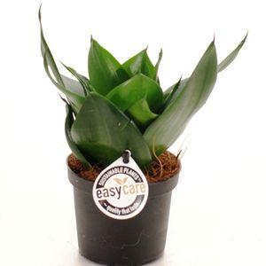 Sansevieria trifasciata 'Black Jade' (Feldborg A/S)