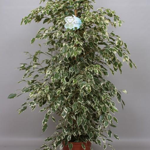Ficus benjamina 'Twilight' (Peeters Potplanten)