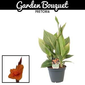 Canna 'Striata' (Vreugdenhil Bulbs & Plants)