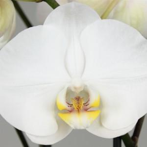 Phalaenopsis 'Ikaria'