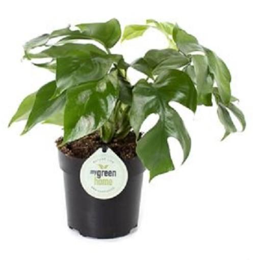 Philodendron bipinnatifidum 'Little Hope' (Gasa DK)