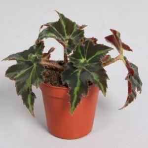 Begonia 'Evy'