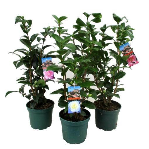 Camellia japonica MIX (Luiten kwekerij)