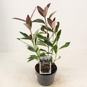 Viburnum odoratissimum COPPERTOP