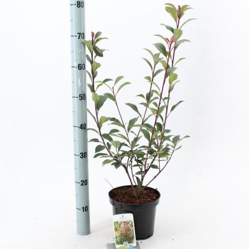 Photinia x fraseri 'Robusta Compacta' (About Plants Zundert BV)