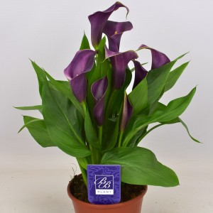 Zantedeschia 'Grape Velvet'
