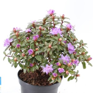 Rhododendron 'Moerheim' (About Plants Zundert BV)
