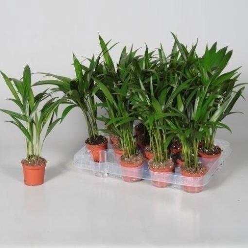 Dypsis lutescens (JoGrow B.V.)
