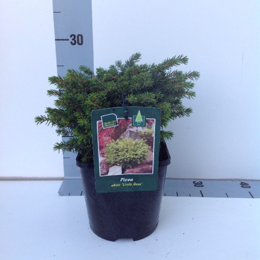 Picea abies 'Little Gem' (Koekoek Potcultures, de)