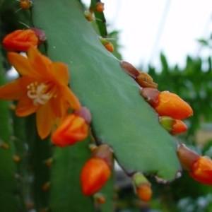 Rhipsalis monacantha (van der Hoorn Succulenten)