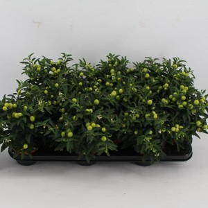 Solanum pseudocapsicum 'Jupiter' (Kwekerij Jan van der Knaap)