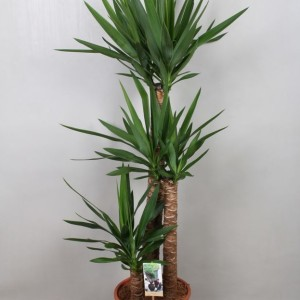 Yucca elephantipes (Vireo Plant Sales)