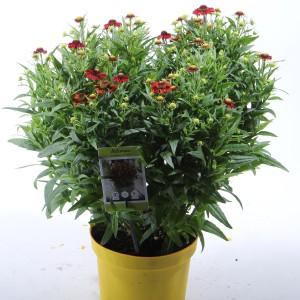 Helenium 'Fuego' (Experts in Green)