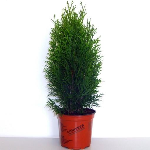 Thuja occidentalis 'Smaragd' (Boomkwekerij Potcultuur Gebr. Rademaker)