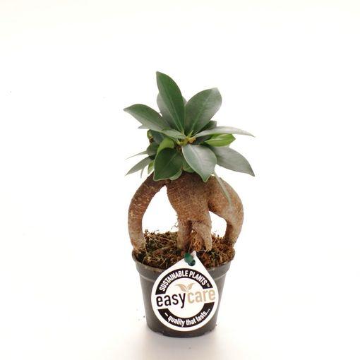 Ficus microcarpa (Feldborg A/S)