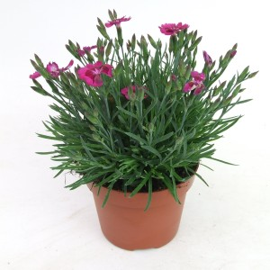 Dianthus PILLOW PURPLE
