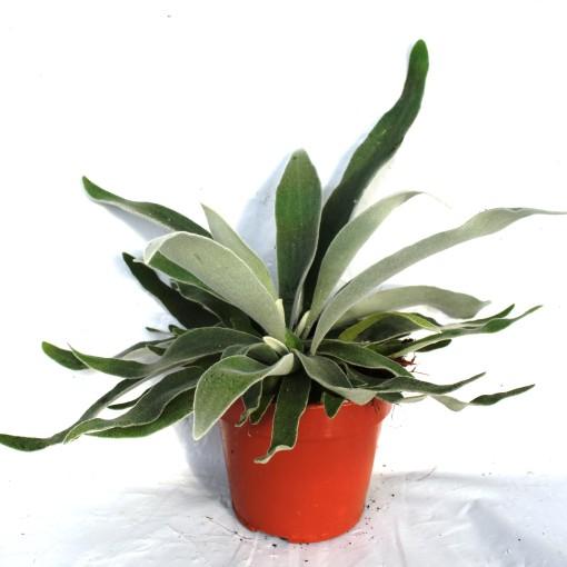 Platycerium veitchii 'Braam' (Ruhé Varens B.V.)