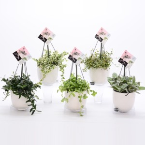 Hanging plants MIX (Bunnik Plants)
