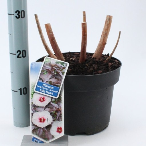 Hibiscus moscheutos CAROUSEL JOLLY HEART (About Plants Zundert BV)