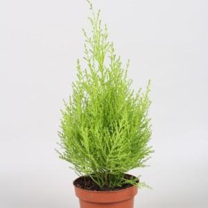 Cupressus macrocarpa 'Goldcrest Wilma' (Vireõ Plant Sales)