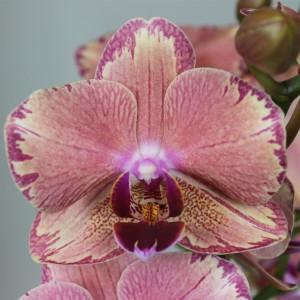 Phalaenopsis FLORICLONE PIRATE PICOTEE