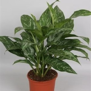 Aglaonema 'Mary Ann'