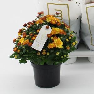 Chrysanthemum AMARENA ORANGE (Kwekerij Baas)
