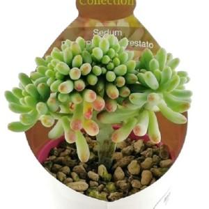 Sedum pachyphyllum cristata