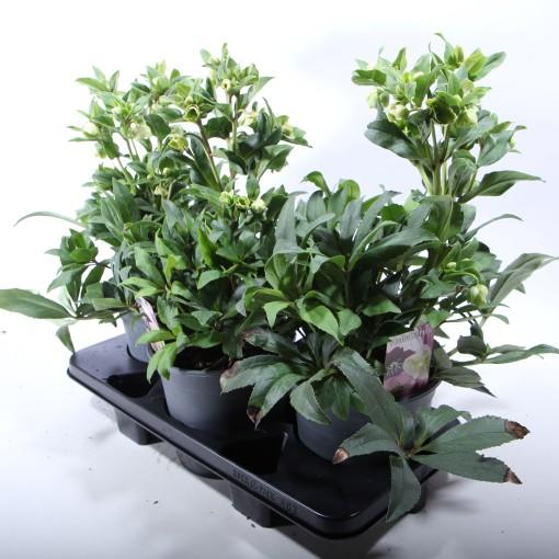 Helleborus 'Winterbells' (Experts in Green)