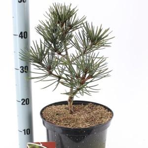 Sciadopitys verticillata 'Picola' (About Plants Zundert BV)